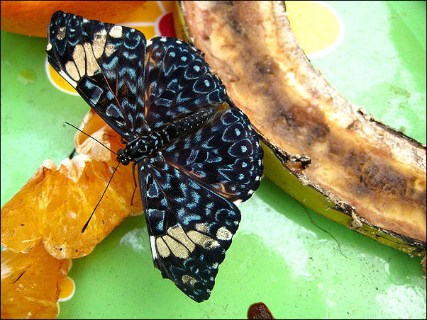 butterfly with banana