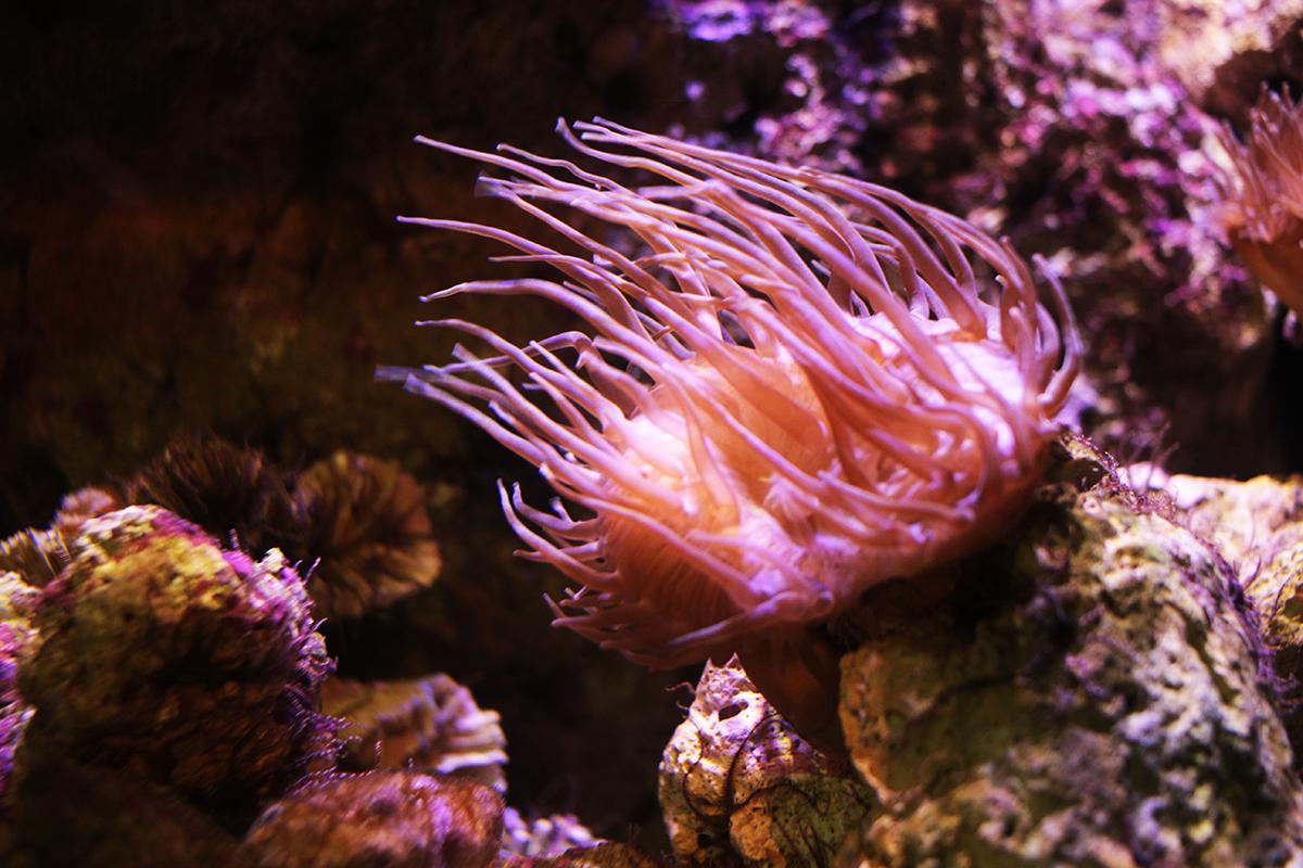 anemone in aquarium