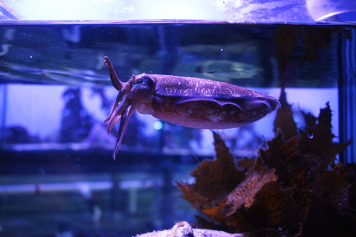 cuttlefish in aquarium